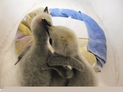 Babies baby chick chicks downy ennui friends friendship fuzz fuzzy hugging hugs penguin penguins