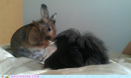 bed,bunny,guinea pig,happy bunday,Interspecies Love,play,play time,playing,rabbit,reader squees