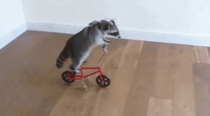 Funny GIFs gifs videos cute raccoons funny jo38ma3 - 5477381