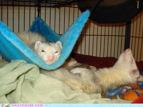 birthday exhausted ferret ferrets Party partying reader squees sleeping tired