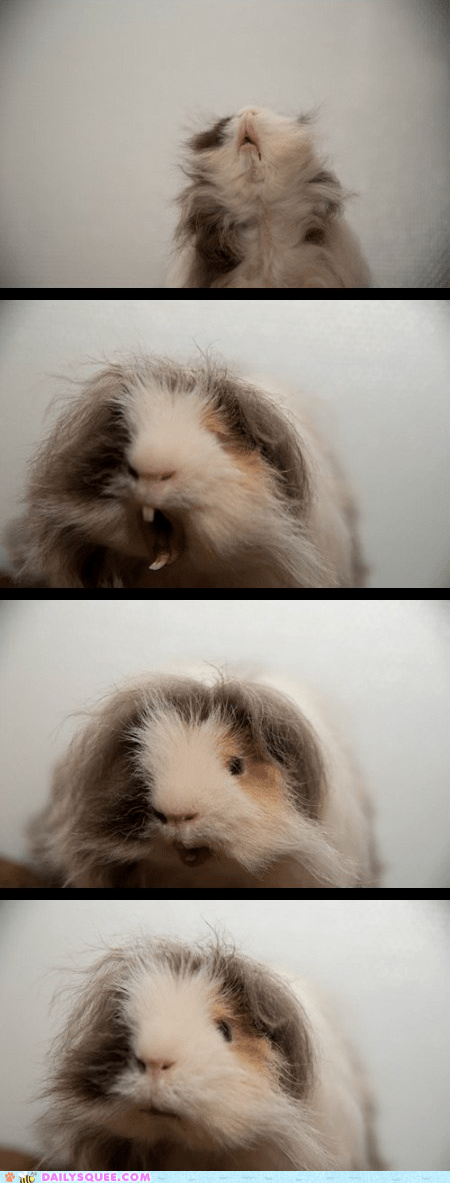 documenting guinea pig process reader squees stages unbearably squee yawn yawning