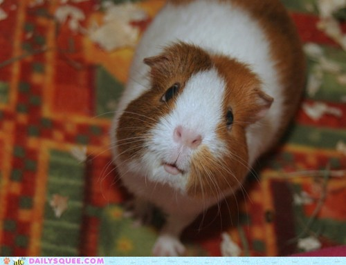 begging face guinea pig hungry impression more noms oliver twist please pouty quote reader squees sir want - 5489588480