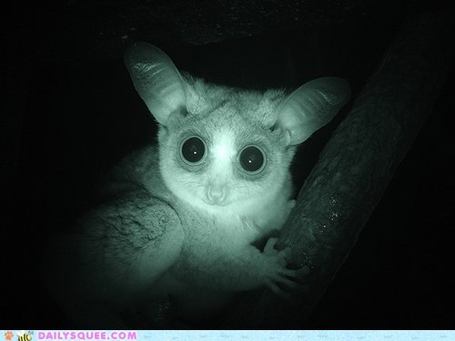 baby bushbaby galago night vision nocturnal squee spree stunning winner - 5492574720