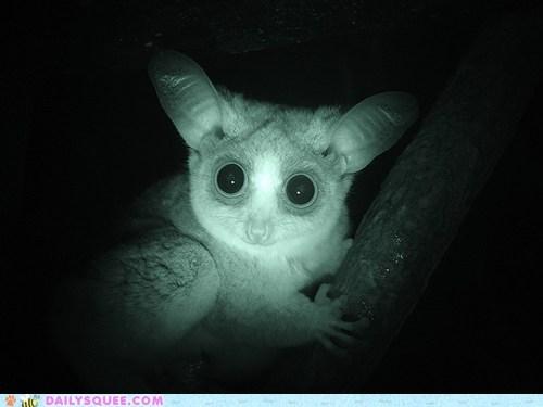 baby bushbaby galago nocturnal squee spree stunning winner - 5492574720