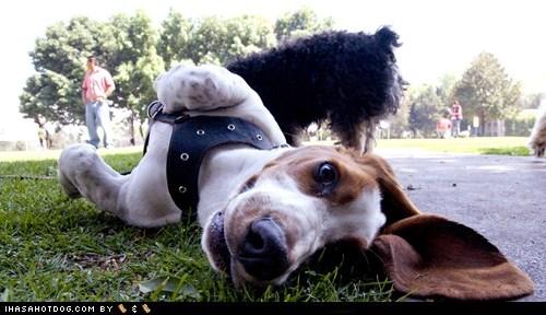 basset hound,ears,flop,flopped,floppy,goggie ob teh week,oh hai
