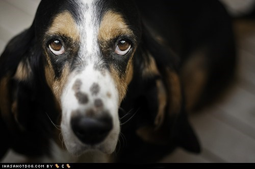 basset hound goggie ob teh week puppy dog eyes sweet face - 5492898560