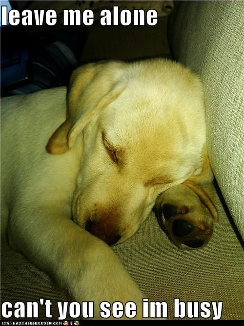 asleep busy go away golden retriever in the middle of something important leave me alone nap nap time puppy really busy sleeping tired