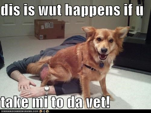 corgi mixed breed no vet sit sitting sitting on your head vet