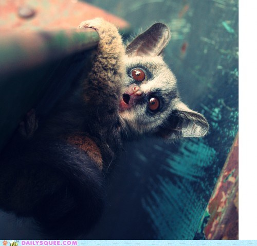 bushbaby,dawwwwww,expression,face,facial expression,galago,squee spree,surprised,surprising,unbearably squee