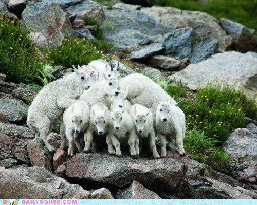 balance balancing cluster goat goats group huddling mountain goat mountain goats Photo posing - 5497541120