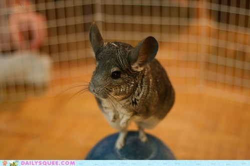 balancing chin chinchilla do want jaw jutting reaching skritches standing sticking - 5497559296