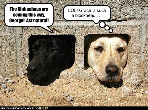 The Chihuahuas are coming this way, George! Act natural! LOL! Grace is such a blockhead . . .