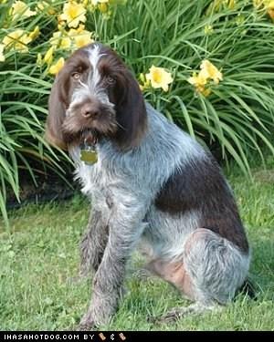 border terrier,Bouvier des Flandre,goggie ob teh week,Kooikerhondje,poll,Spinone Italiano,u deside