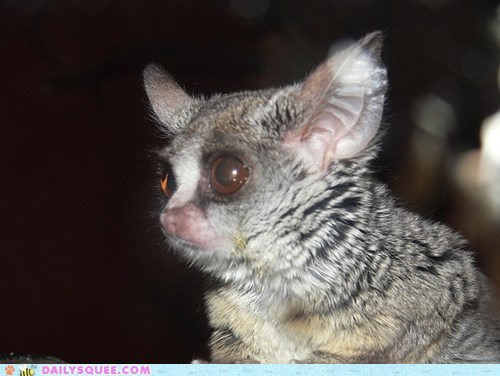 baby bushbaby galago gizmo gremlin gremlins Movie resemblance squee spree - 5501755904