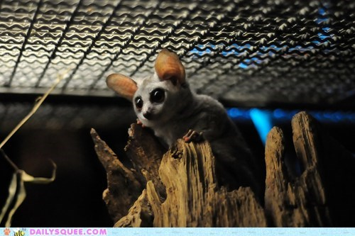 baby bushbaby conclusion galago gaze gazing lingering lookaftering squee spree - 5506233088