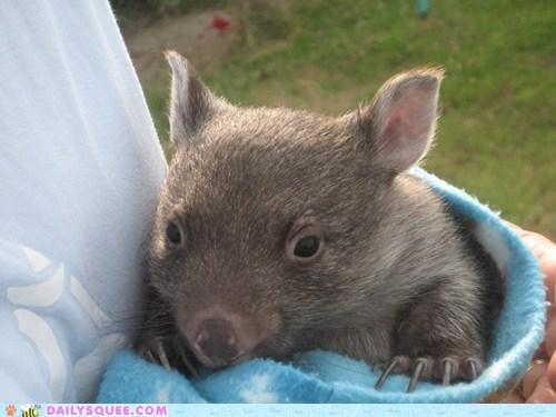 Babies baby contest Joey joeys poll squee spree Tasmanian Devil tasmanian devils Wombat wombats - 5506249728