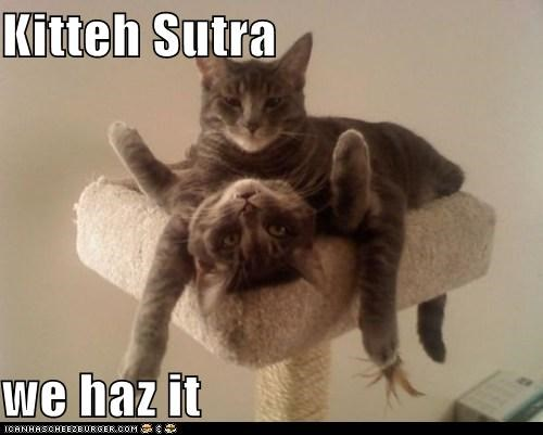 caption,captioned,cat,Cats,double entendre,innuendo,kama sutra,replacement,similar sounding,we haz