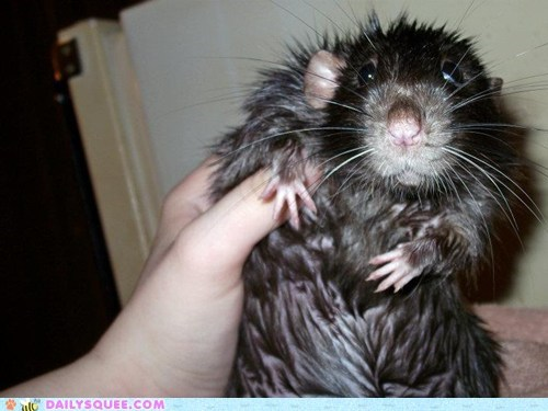 after bath drying off rat reader squees wet - 5507845120