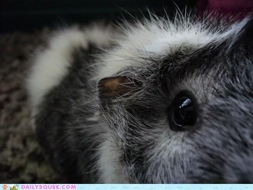 curiosity curious exploring guinea pig inquisitive reader squees - 5507854336