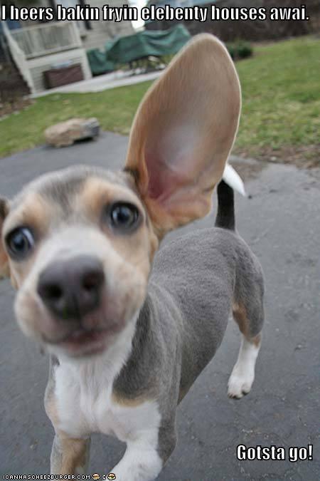 bacon beagle big ears ears gotta go neighbors - 5507990016
