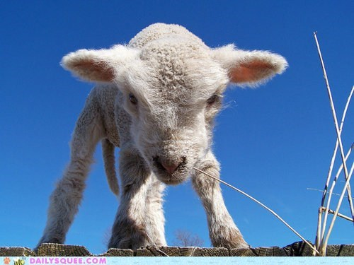 adorable baby expression fuzzy grumpy lamb sheep tiny - 5510780416