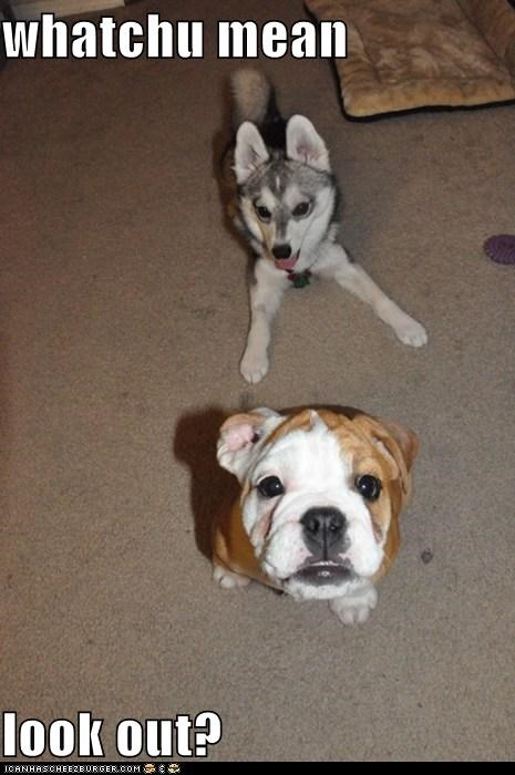 bulldog,husky,look out,play,playing,sneak attack,watch out