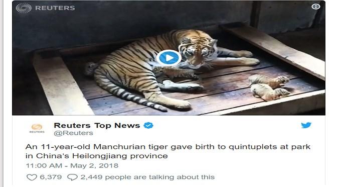 twitter endangered species tigers cute cubs tweets baby tigers cute tigers - 5516805