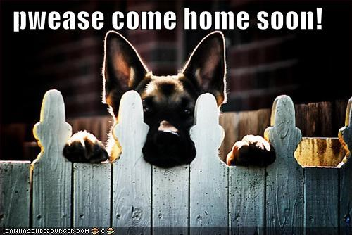 come home,fence,german shepherd,home,i love you,i miss you,peek,peeking