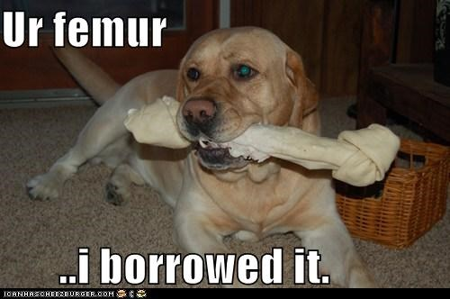 bone delicious femur labrador retriever