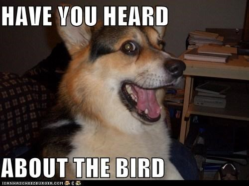 bird,bird is the word,corgi,have you heard about the bird,the bird is the word