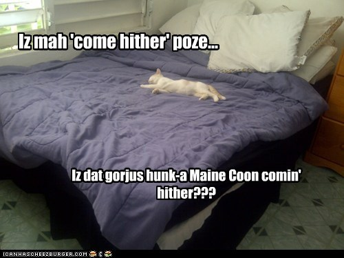 Iz mah 'come hither' poze... Iz dat gorjus hunk-a Maine Coon comin' hither???