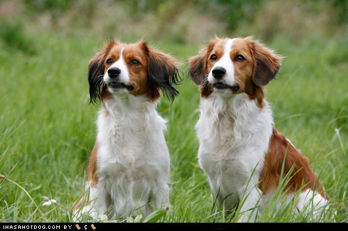 alert,friends,goggie ob teh wee,grass,Kooikerhondje,oh hey,outdoors,pals