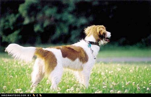 checking out excited go see goggie ob teh week happy Kooikerhondje outdoors what is that what - 5521778432