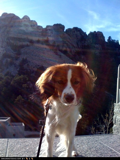 goggie ob teh week Kooikerhondje Mount Rushmore tourist - 5521782784