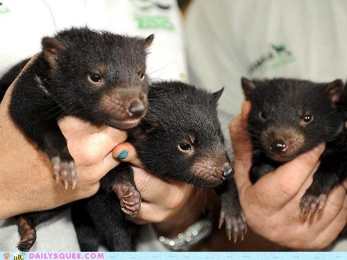 adorable Babies baby contest handful holding Joey joeys literalism pun squee spree Tasmanian Devil tasmanian devils tiny winners