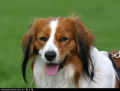 goggie ob teh week happy dog Kooikerhondje tongue tongue out - 5521907456