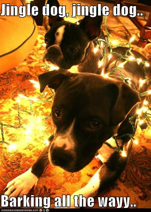 chirstmas carols,christmas,christmas lights,french bulldogs,jingle bells,jingle dog,pitbull