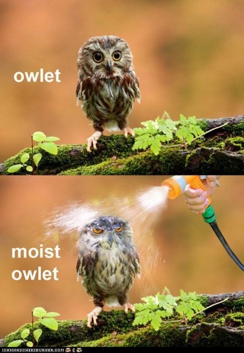 Owlet--------Moist Owlet