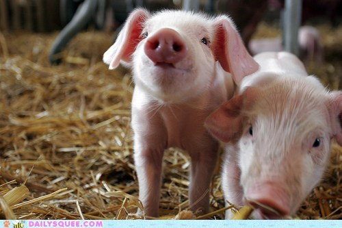 babe Babies baby expression look pig piglet piglets quote unbearably squee - 5525043712