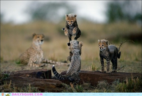 acting like animals Babies baby cheetah cheetahs cub cubs mother pouncing punishment scolding spectator sport watching - 5525066752