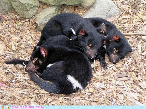 asleep Babies baby cuddling Joey joeys sleeping sleepy squee spree Tasmanian Devil tasmanian devils tired - 5526351104