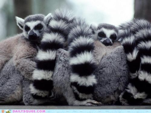 adorable,asleep,cuddling,lemur,lemurs,line,sleeping