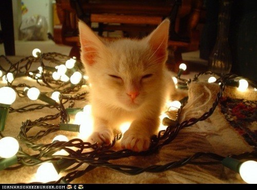 christmas,christmas lights,cyoot kitteh of teh day,decorating,holidays,lights,the 25 days of catmas,white