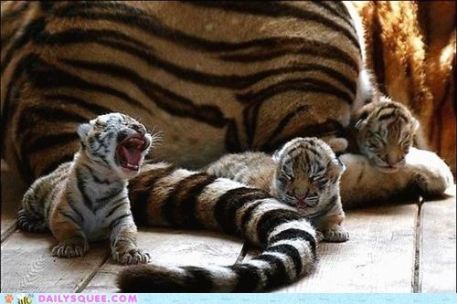 adorable Babies baby cub cubs Hall of Fame itty bitty mother size tiger tigers tiny unbearably squee yawn yawning - 5529160704