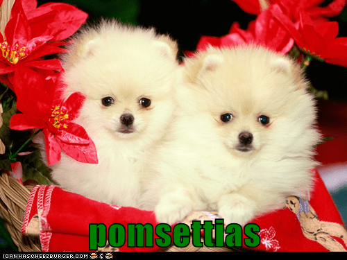 christmas flowers poinsettia poinsettias pomeranian