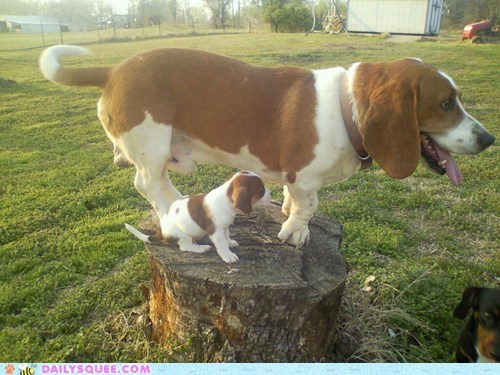 basset hound basset hounds dogs miniature puppy reader squees seeing double two - 5531195904