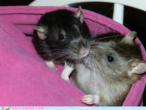 friends,friendship,hanging out,hood,hoodie,kisses,kissing,rat,rats,reader squees,relaxing,siblings,sisters,sweatshirt