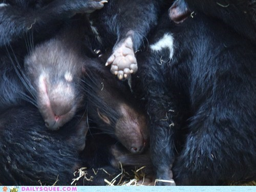 asleep Babies baby crash crashing Joey joeys pile pileup pun sleeping squee spree Tasmanian Devil tasmanian devils