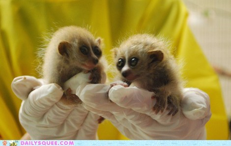 award Babies baby do want happy present presenting prize Slow Loris slow lorises smiling