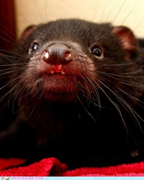 baby,closeup,devilish,handsome,mugshot,pun,squee spree,Tasmanian Devil